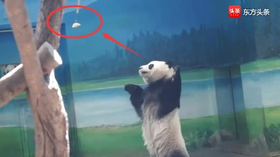 熊猫宝宝圆仔站起来双手举高,可就是够不到果果,急得原地转圈圈