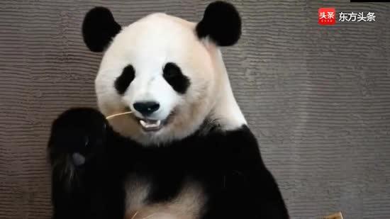 熊猫樱浜美美亮相:好多人都说我是神仙颜值,你觉得呢?