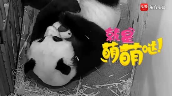 熊猫妈妈美香把小宝贝紧紧搂在怀中细心呵护,好暖心的一幕