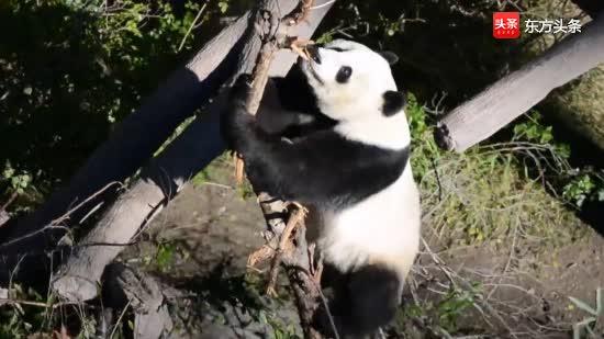 """电量满格的熊猫""""小礼物""""骑在树上调皮捣蛋,嗨到飞起"""