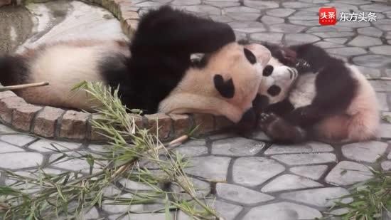 """熊猫母女游戏时间嬉戏玩闹好欢乐,熊猫妈妈松垮的""""头套""""好抢戏"""