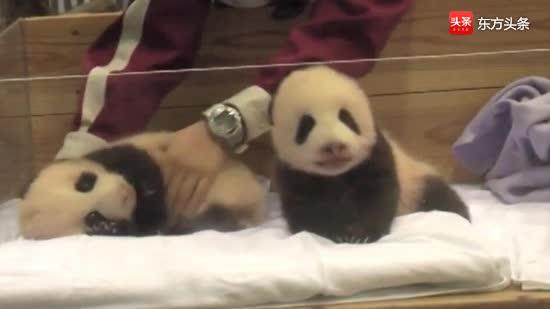 熊猫梅浜永浜小时候的珍贵视频,被奶妈抱在怀里,像婴儿一样可爱