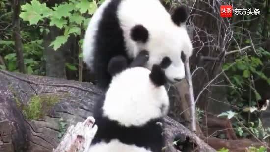 熊猫宝宝福凤福伴在一起,画面太萌,哪里是打架啊?