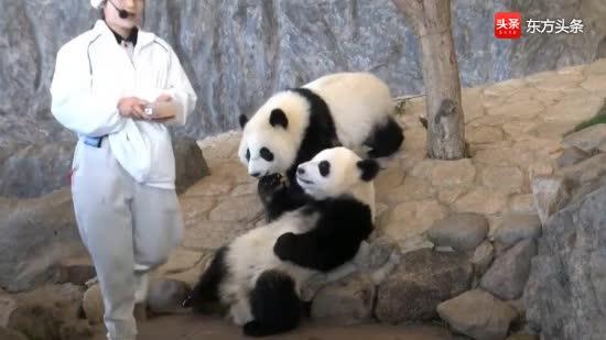 为了吃到好吃的,两只软萌至极的熊猫宝宝,表现要多乖有多乖