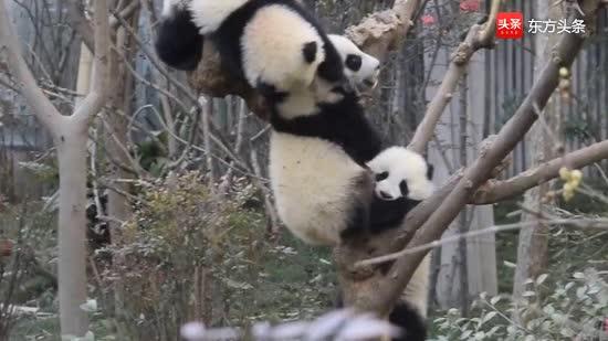 熊猫幼儿园的宝宝们一言不合就开启混战模式,小不点儿太可爱了