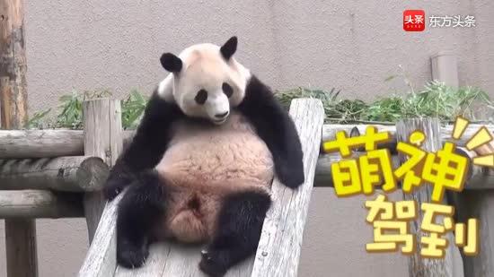 熊猫阳浜躺在滑梯上滑下来,摇头晃脑地奔跑,开心到飞起
