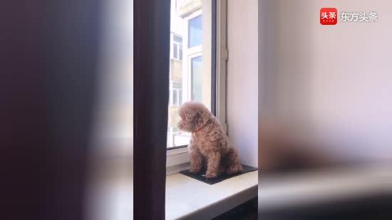 泰迪一月闭关修炼谁能懂,狗子在家里快要憋疯了,萌萌哒的毛孩子