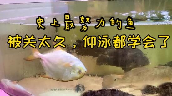 为生存努力学习技能的小萌鱼:再给我一点时间,蛙泳蝶泳都能学会